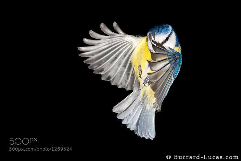 An older photo... a blue tit in flight, taken in our garden, circa 2006 :) The set-up involved a camera and a few flashes pointed at a bird feeder, with a shutter-release cord trailing in through the kitchen window. It took several weeks to get this photo, and it's one of just a handful that turned out against hundreds that didn't! Nowadays we would probably invest in an infrared beam-splitter to trigger the camera instead of relying on our reactions and timing.