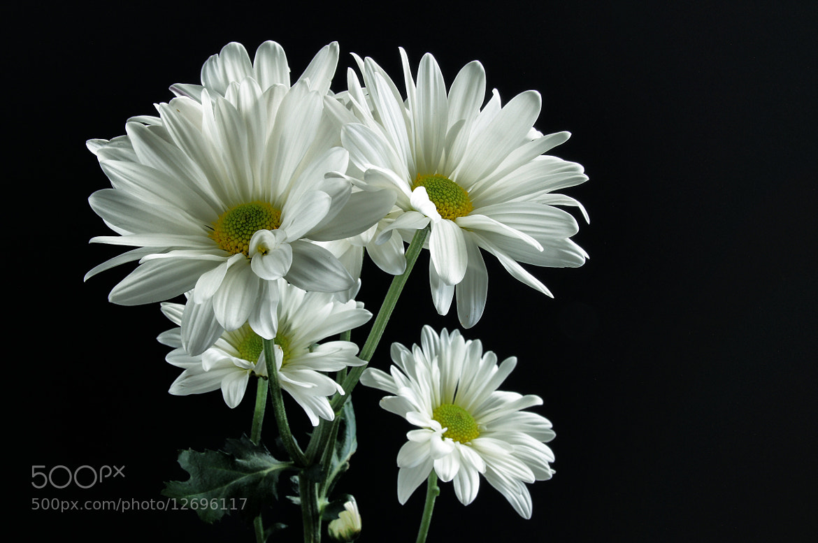 Photograph Daisy, Daisy. by Sarah 2.0 on 500px