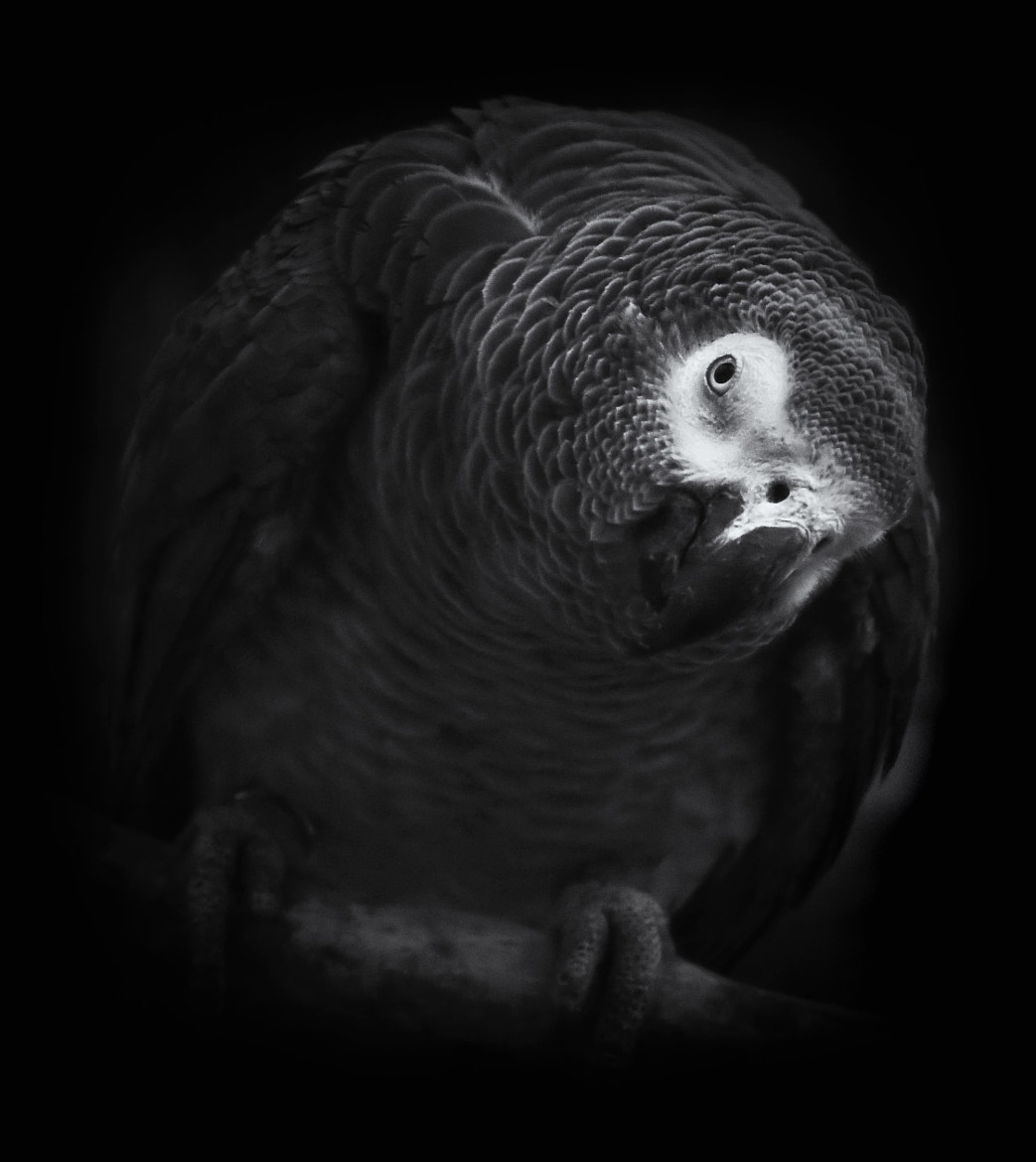 Photograph African Grey by Mat Whittington on 500px