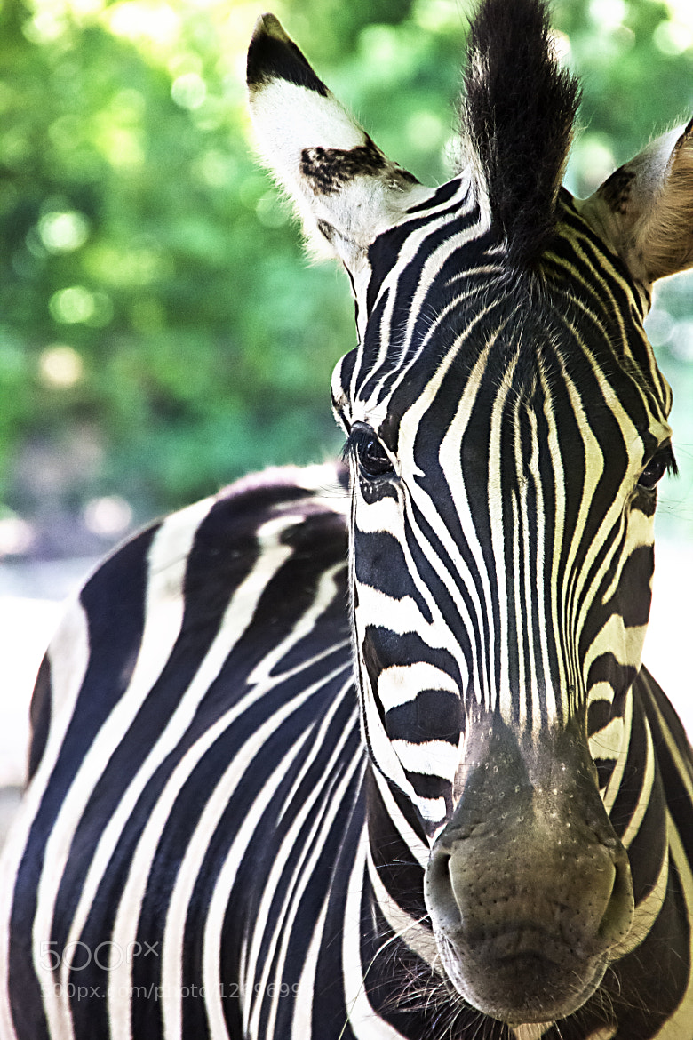 Photograph zebra by Metka Hiti on 500px