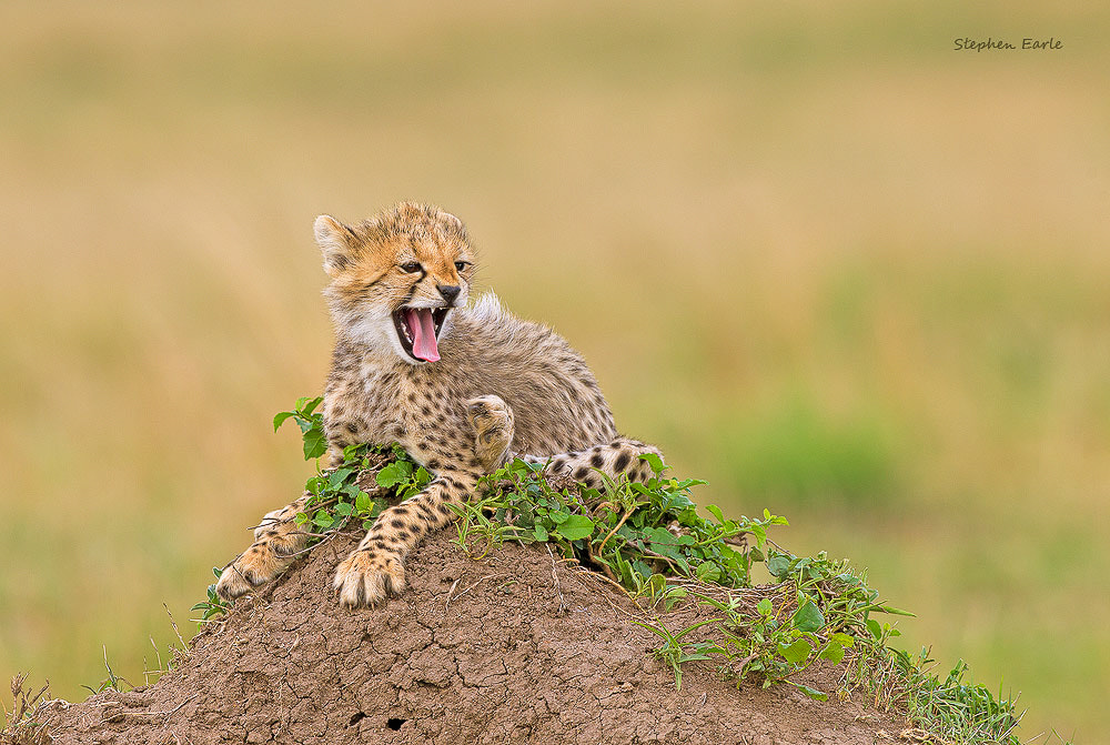 Photograph Cheetah smile by Stephen Earle on 500px