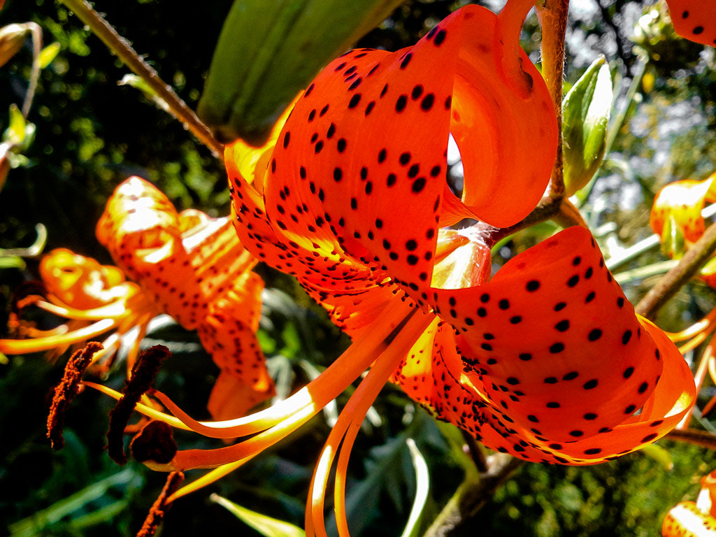 Photograph Turk's Cap Lilies by Marcia and Mike Nelson Pedde on 500px