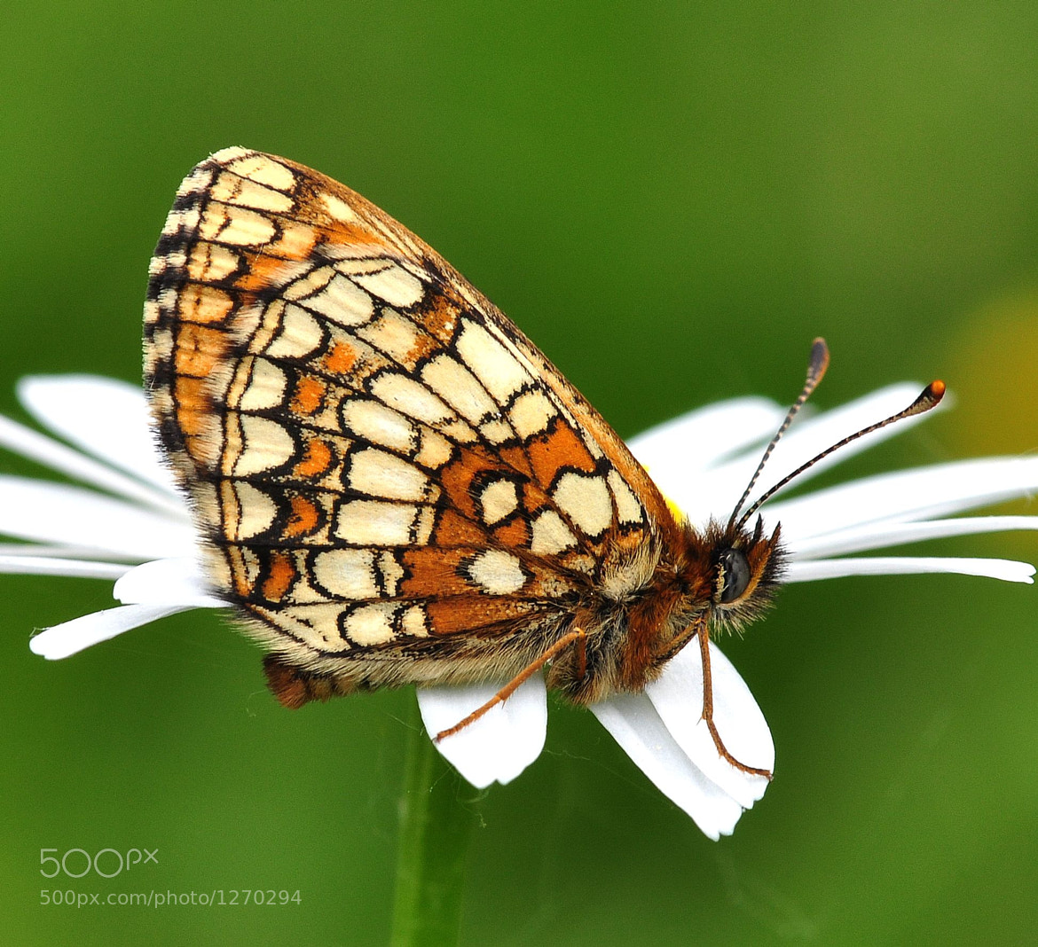 Photograph Nickerl's fritillary - Mellicta aurelia by Horia Scubli on 500px