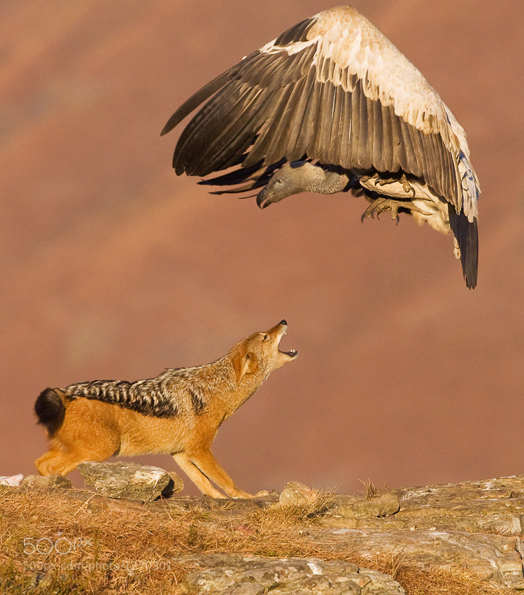 Photograph Jackal & Vulture by Stephen Earle on 500px