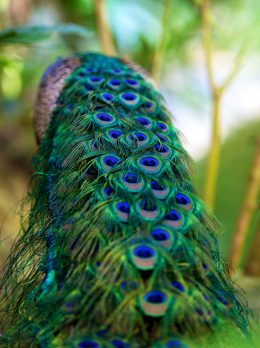 Photograph Beautiful Peafowl by Mohamed  Al Faris on 500px