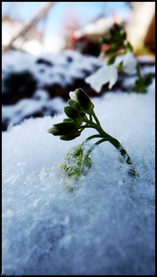 Photograph Flower in the snow by Benjamin Keran on 500px