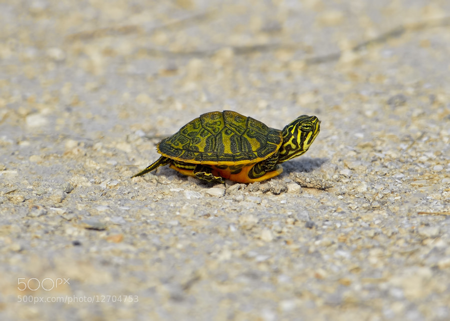 Photograph Wetlands find, a Red-bellied Turtle baby by Bill Dodsworth on 500px