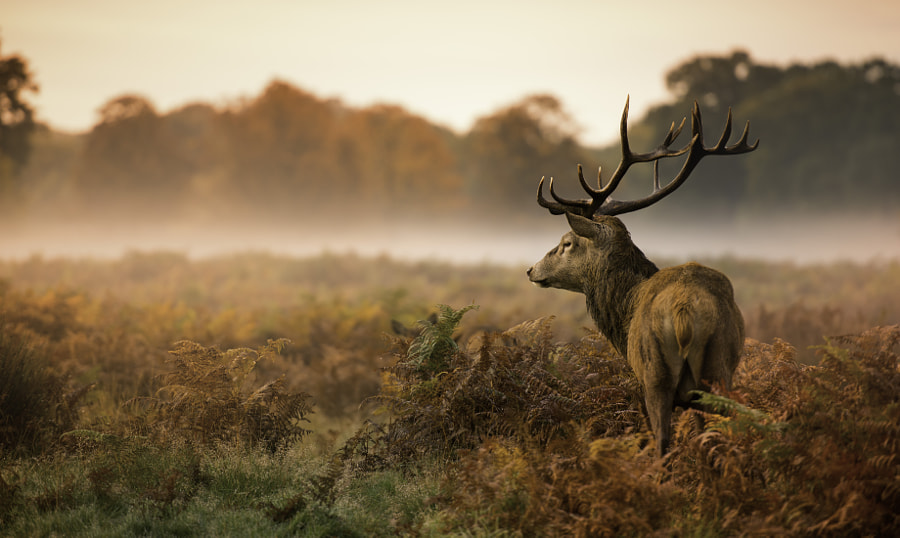 Deer stag by Inguna Plume on 500px