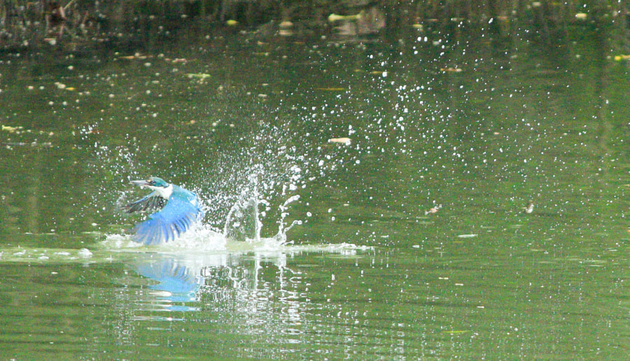 Kingfisher in action!