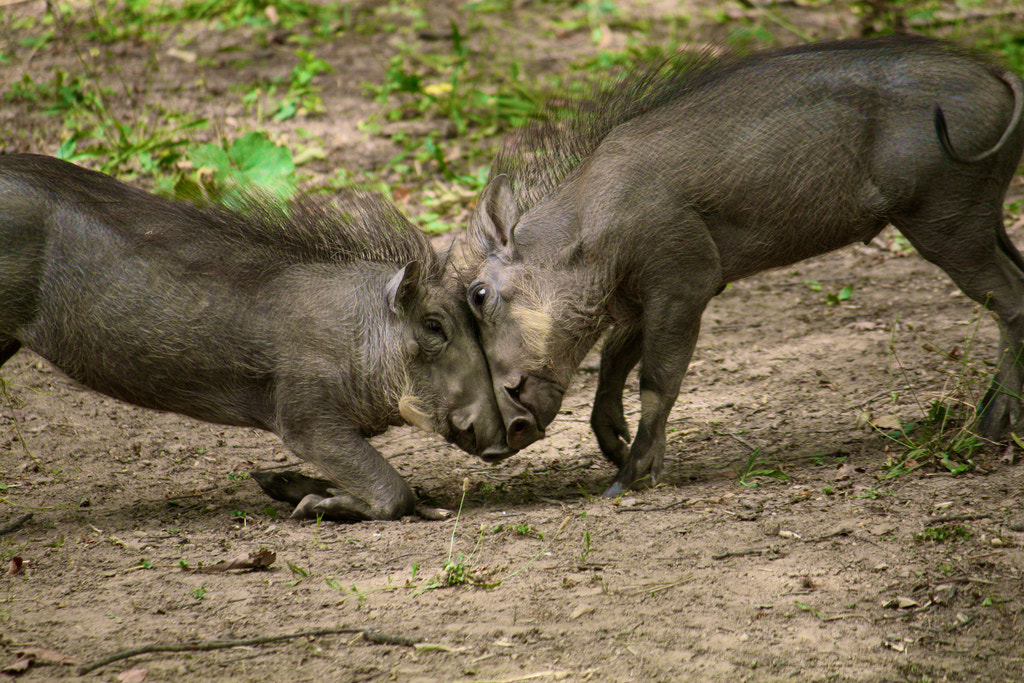 Photograph Warthog Brothers by Benjamin Fisher on 500px