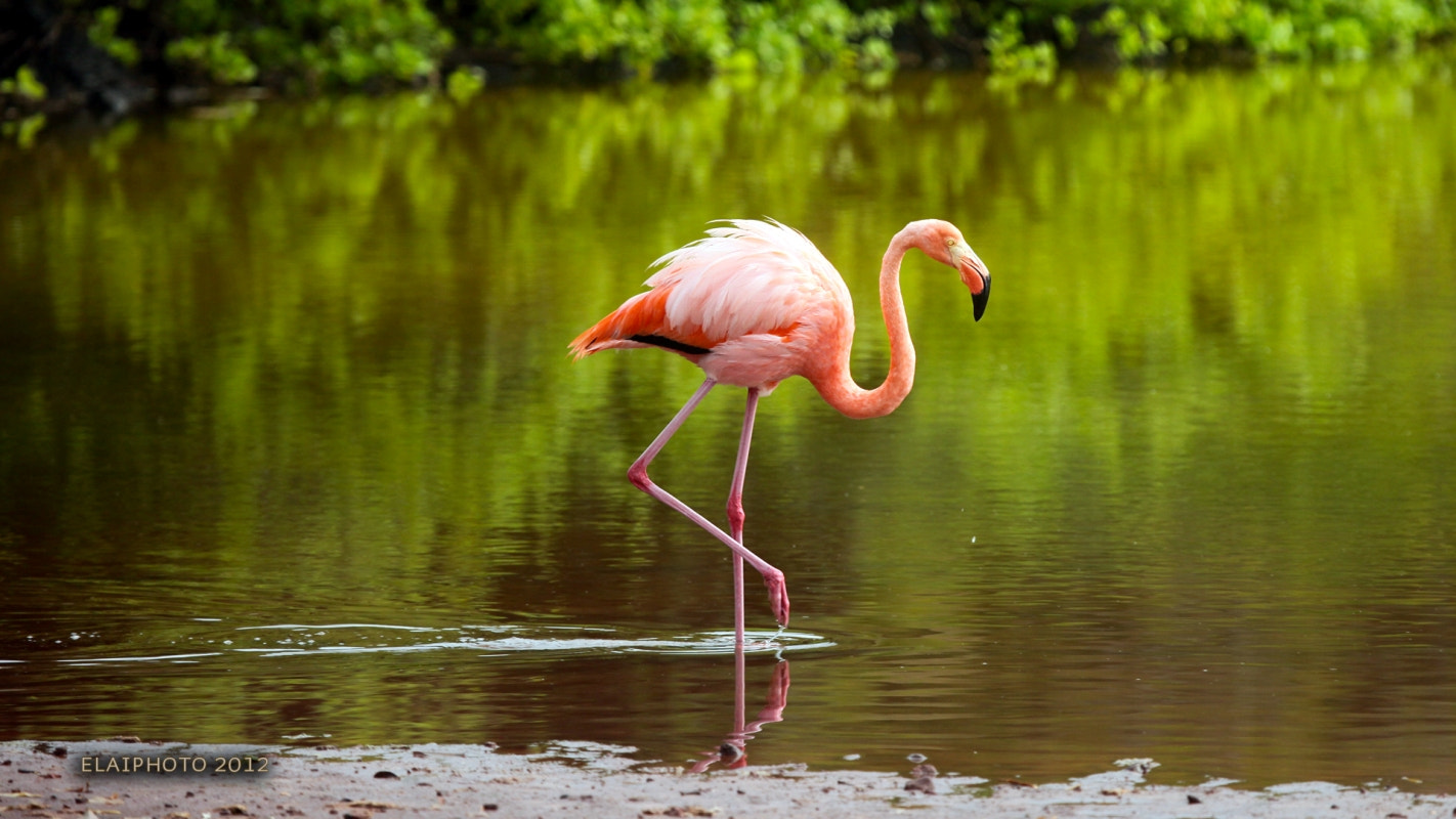 Photograph As proud as a flamingo... by Edward Lai on 500px