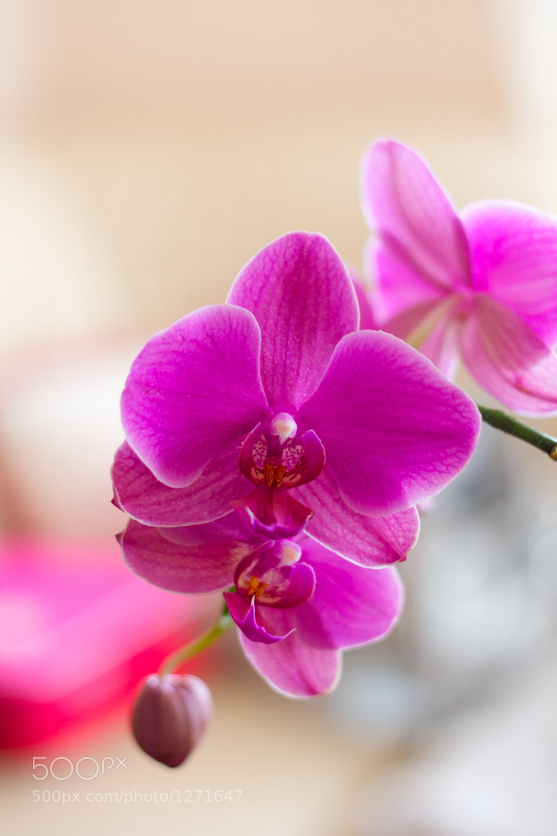 Photograph Orchid by Darko Kontin on 500px