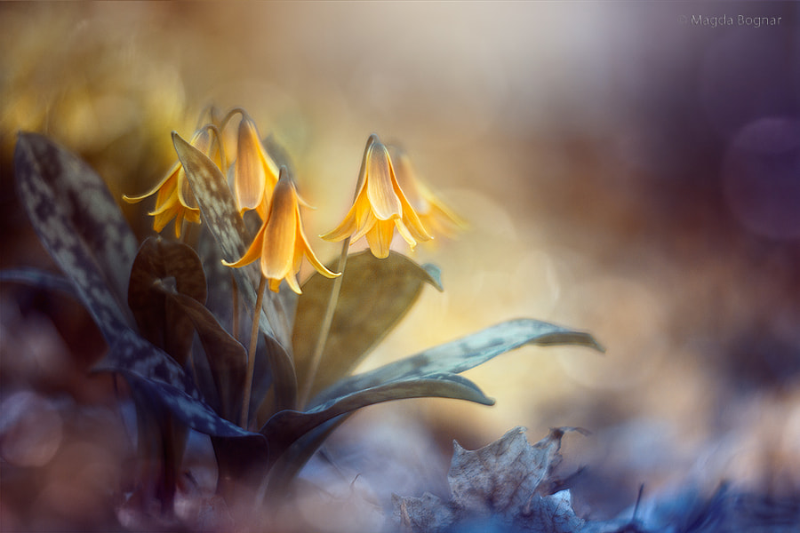 Trout Lilies by Magda  Bognar on 500px.com