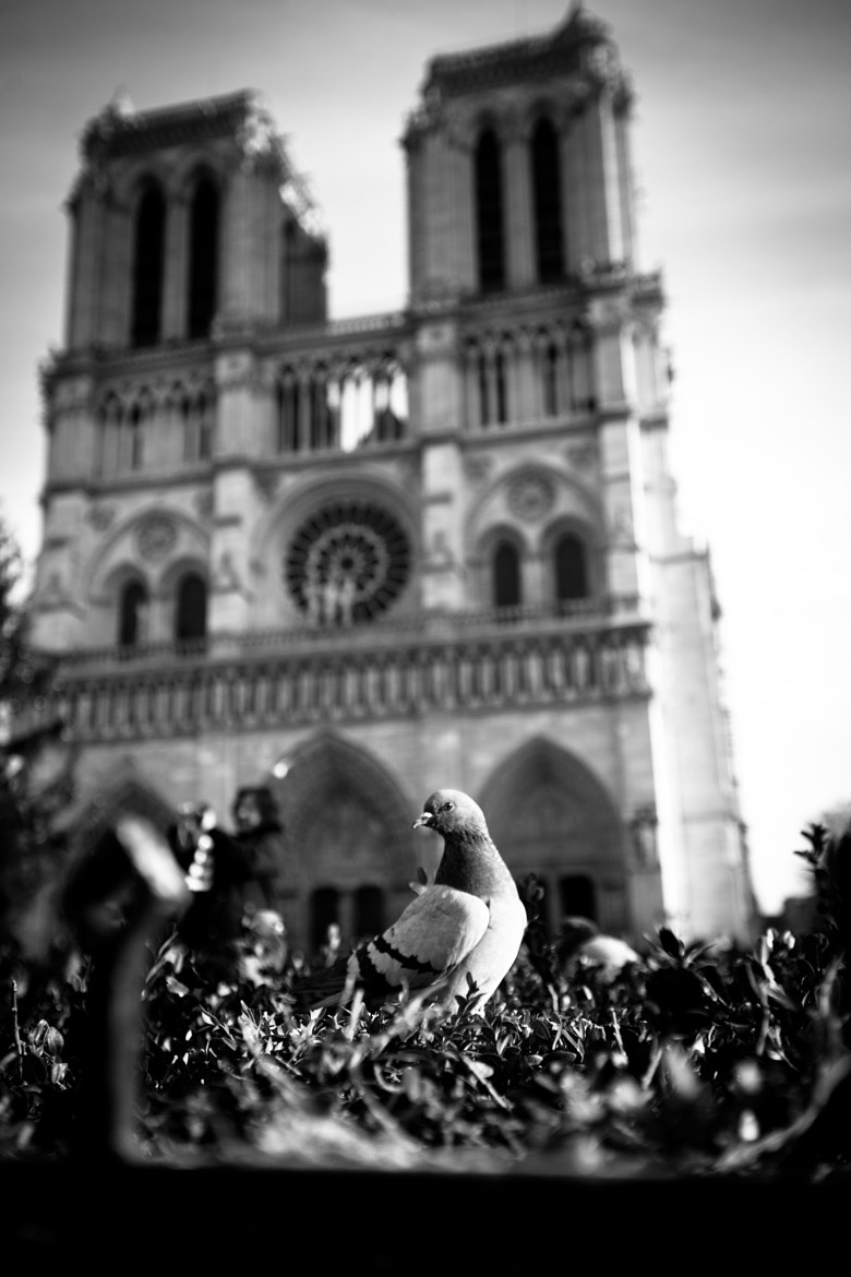 Photograph Notre Dame Pigeon by ray j.  gadd on 500px