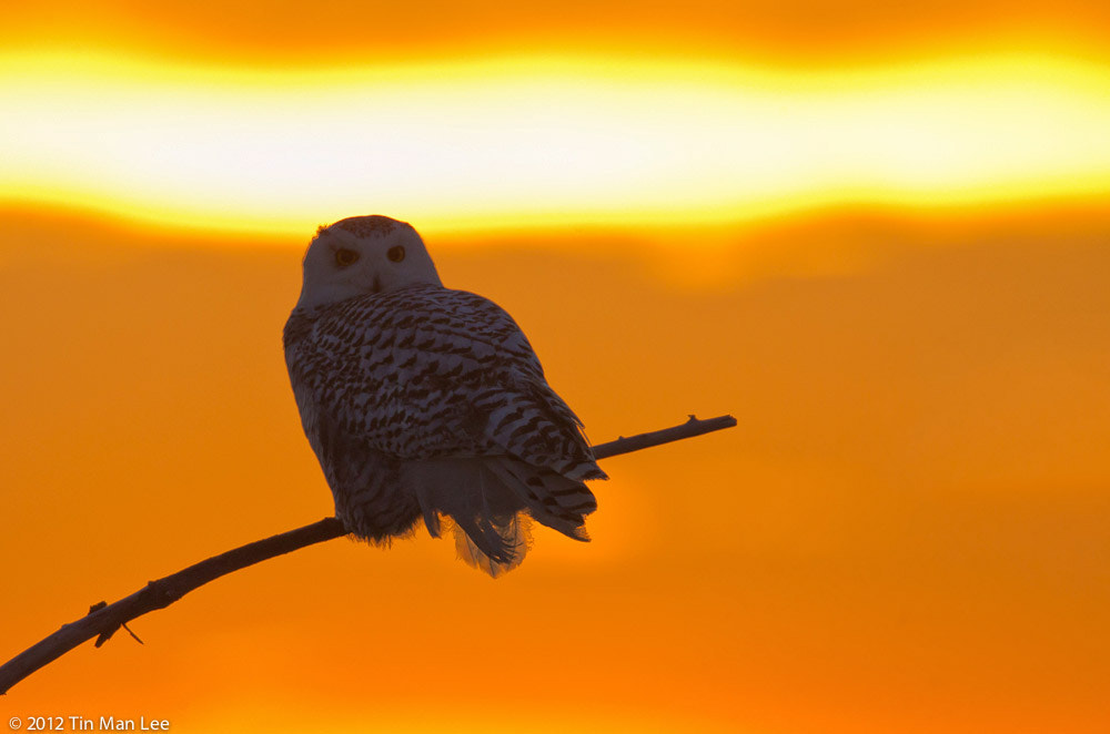 Photograph Snowy Owl at Crack of Dawn by Tin Man on 500px