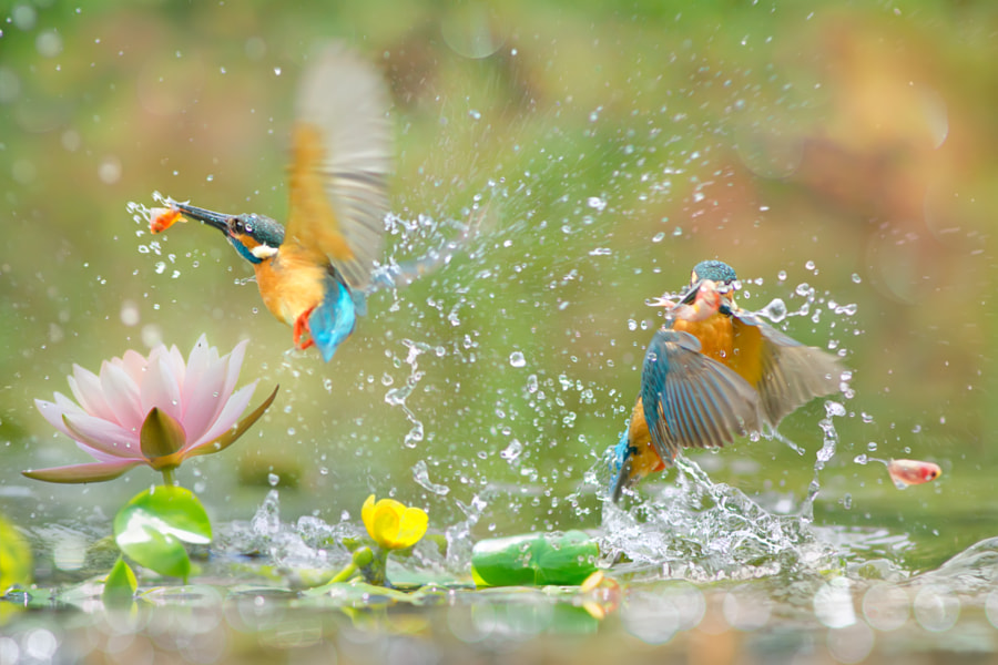 ~ Kingfisher catch fish    ~, автор — FuYi Chen на 500px.com