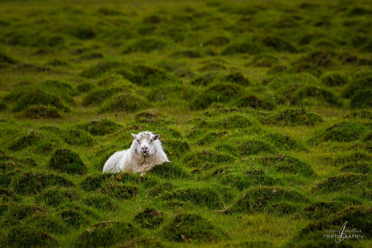 Photograph Killer Sheep by Stefan Brenner on 500px