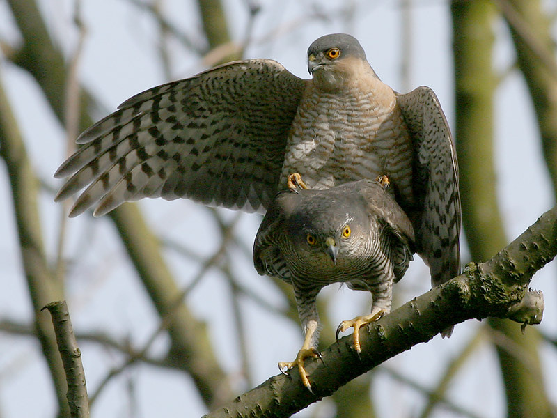 Photograph Mating Sparrow Hawks 2 by Aat Bender on 500px