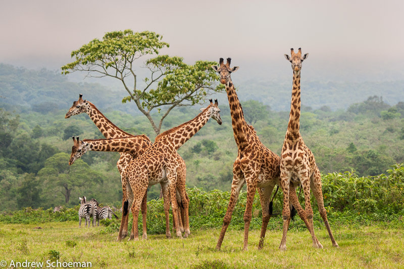 Photograph Giraffes by Andrew Schoeman on 500px