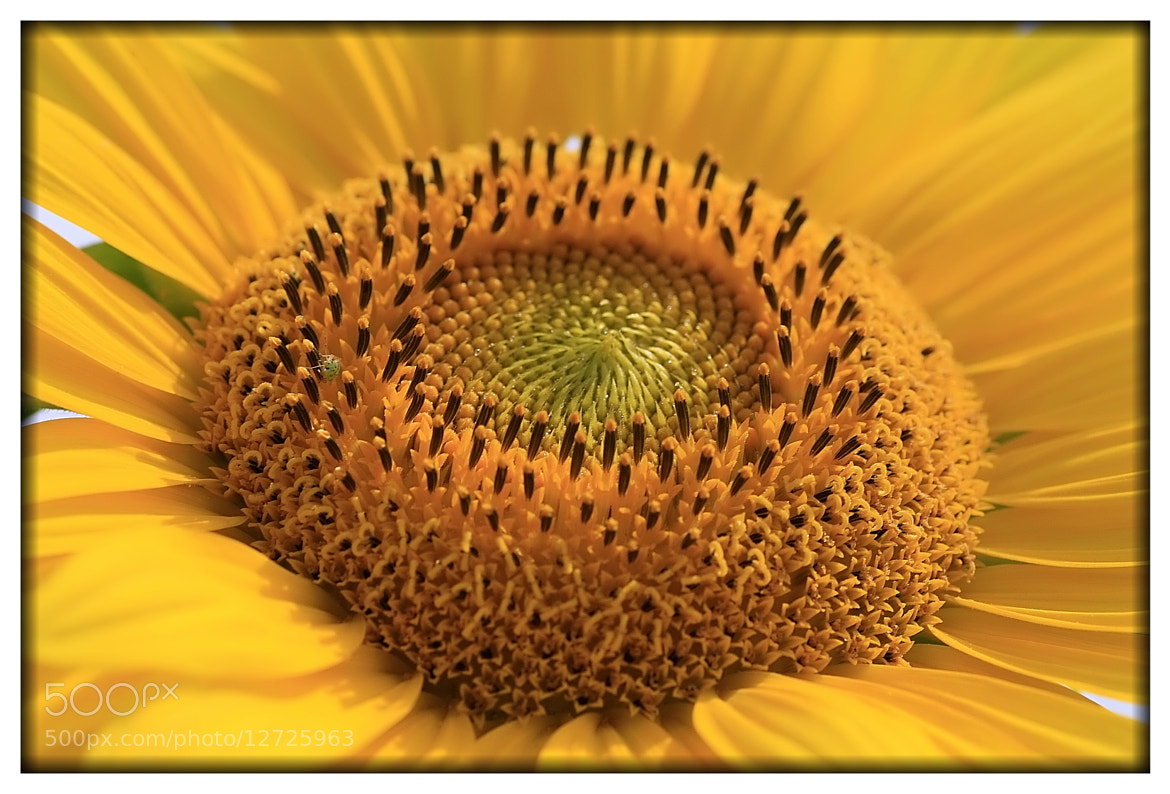 Photograph Sunflower focused by Frank Weil a. Rh. on 500px