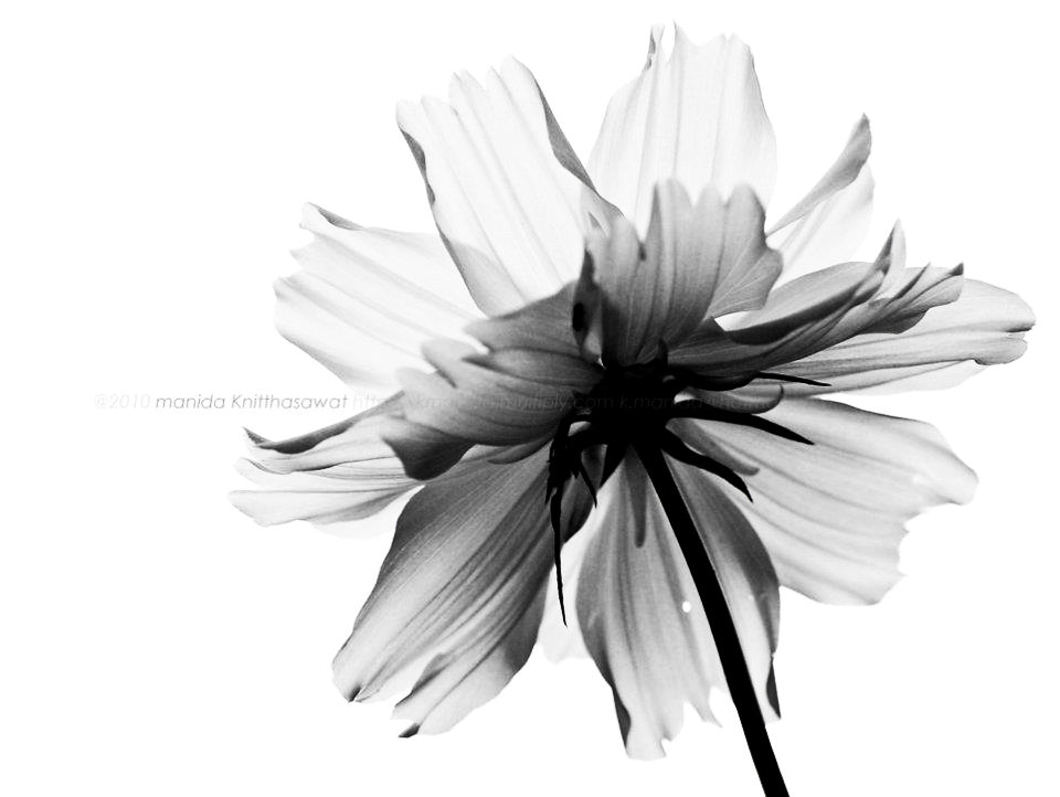 Photograph Non color of flower by Manida K. on 500px