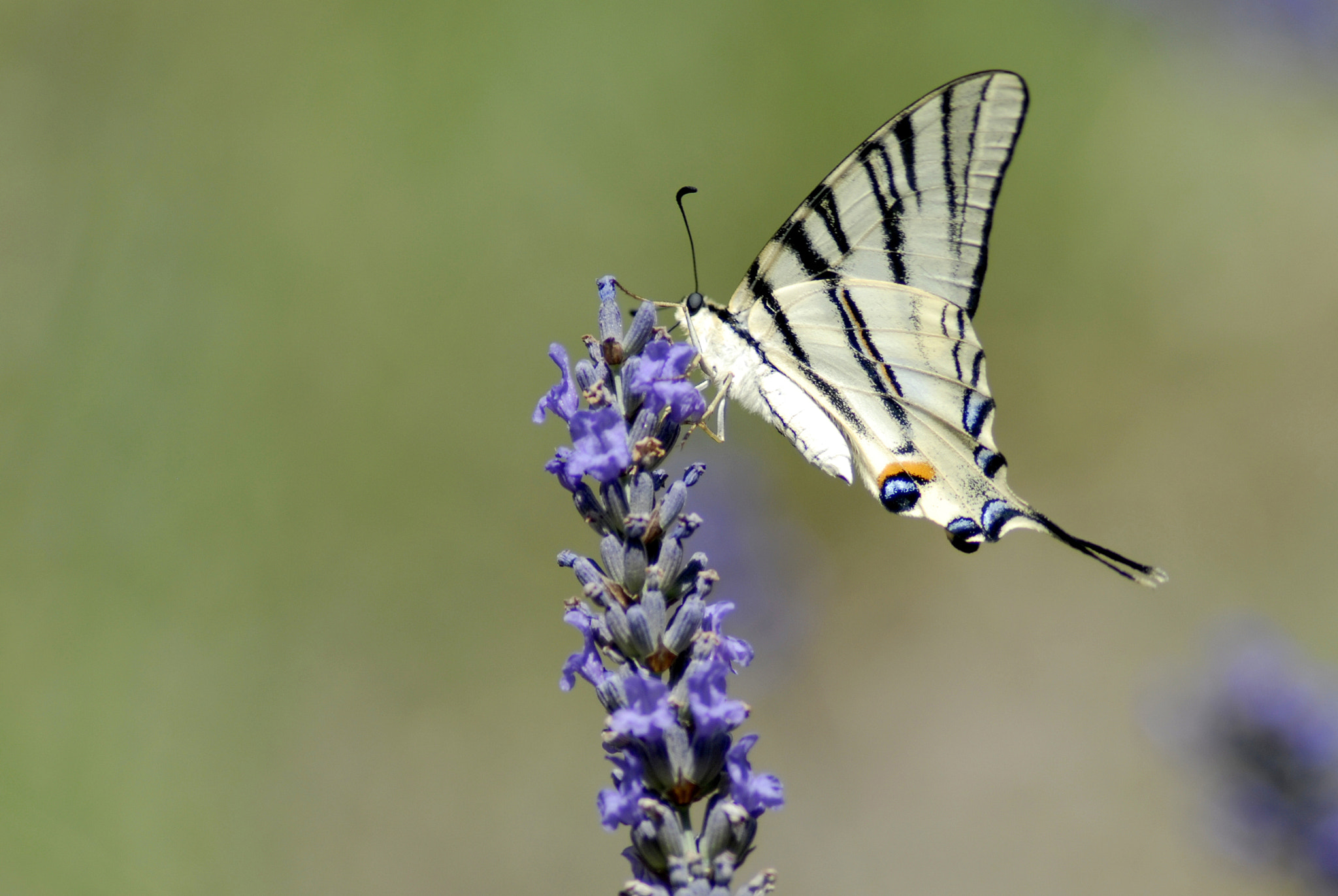 Photograph Scarce Swallowtail by Harry de Visser on 500px