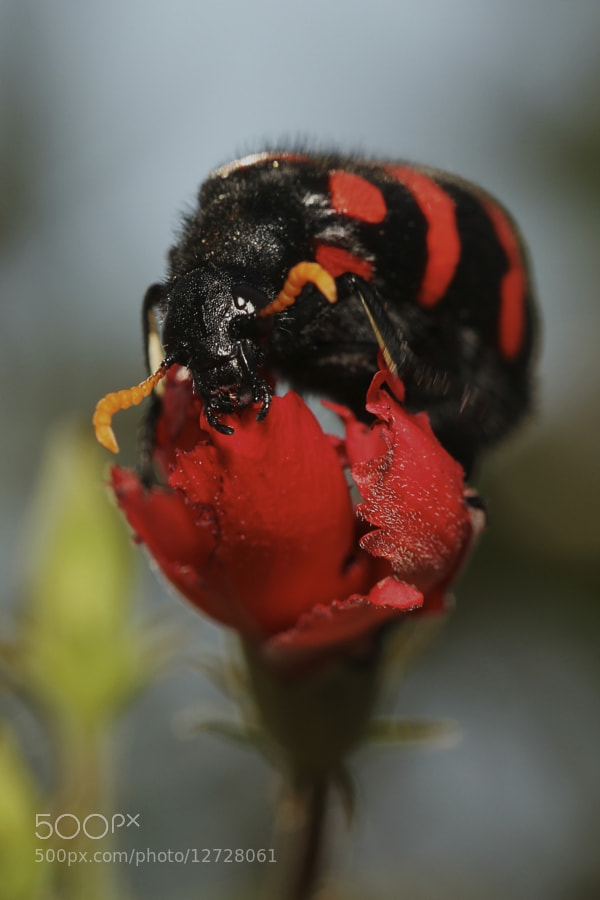 Photograph Red Bug #1 by Henk Botha on 500px