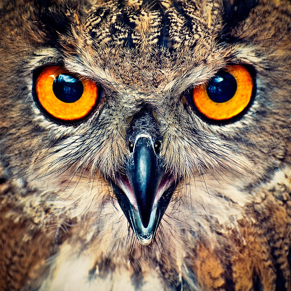 Photograph Eagle Owl Eyes by Allard Schager on 500px