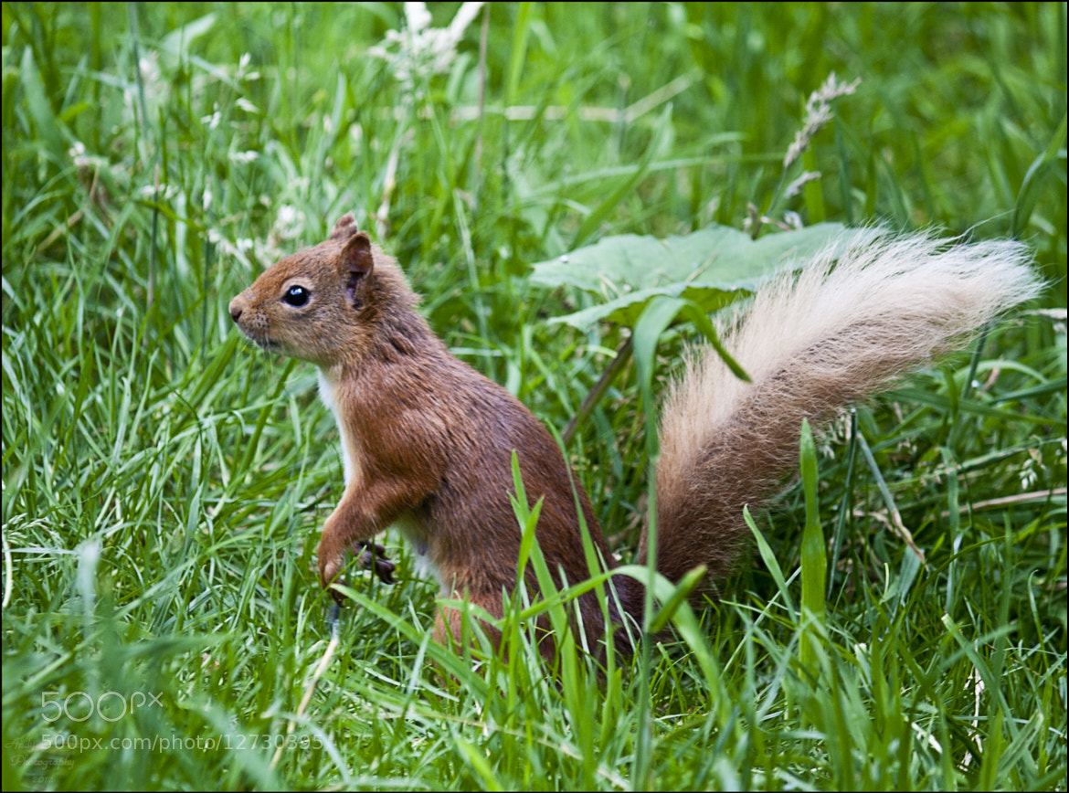 Photograph Red Squirrel by Andy Stuart on 500px