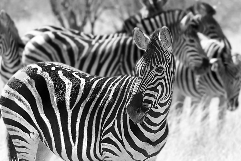 Photograph Mono Zebra by Marcelle Robbins on 500px
