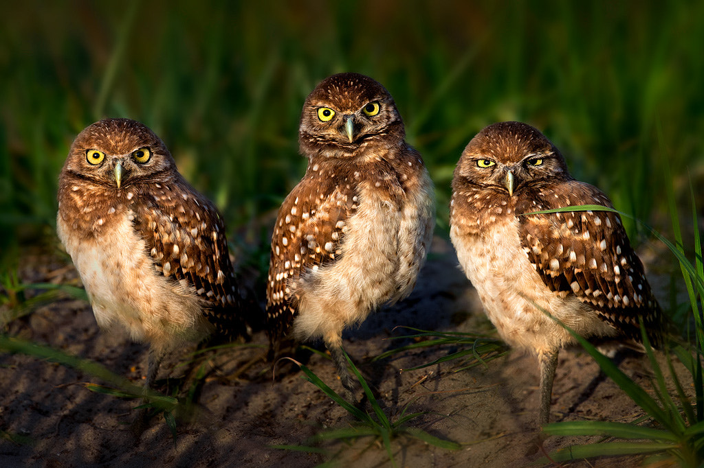 Photograph Three Irritated Little Owlets by Steve Perry on 500px