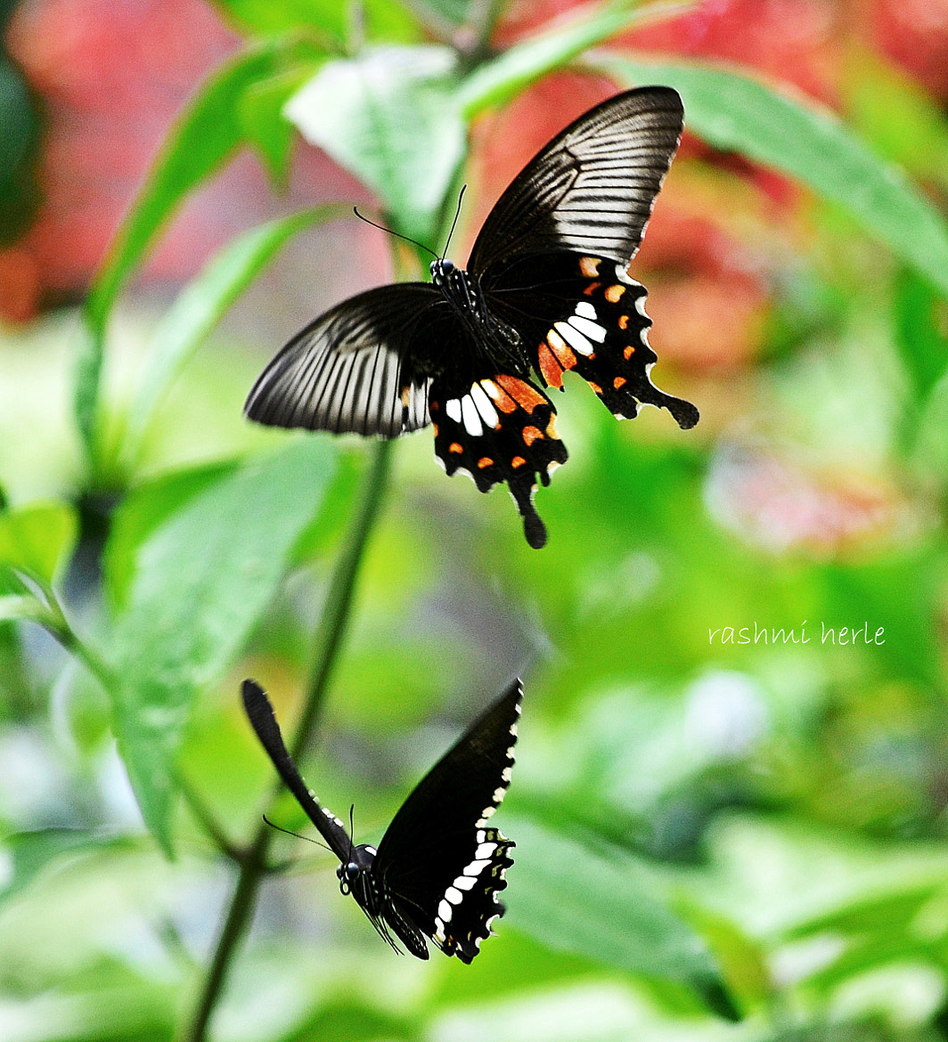 Photograph Pair of Common Mormon by Rashmi Herle on 500px