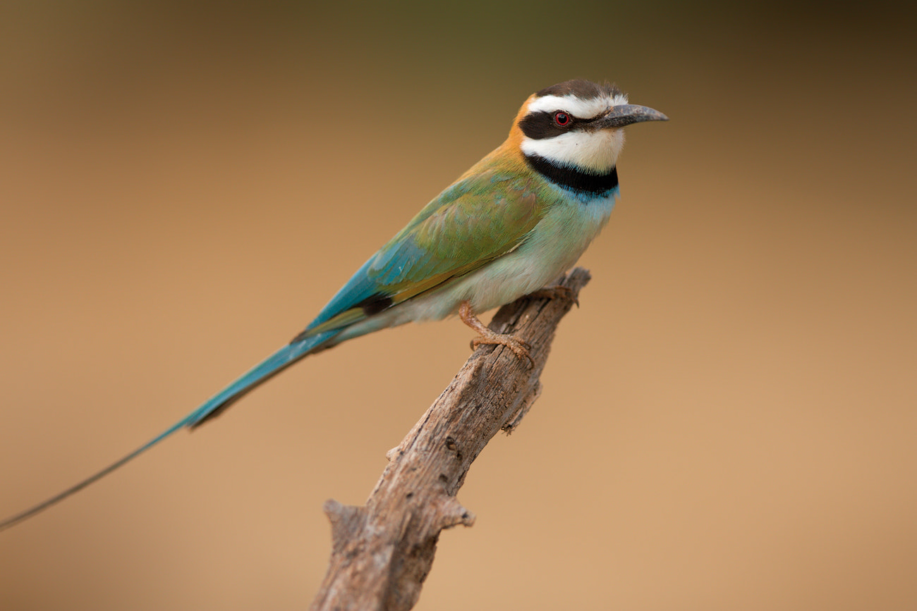 Photograph White-throated Bee-eater by Thomas Retterath on 500px