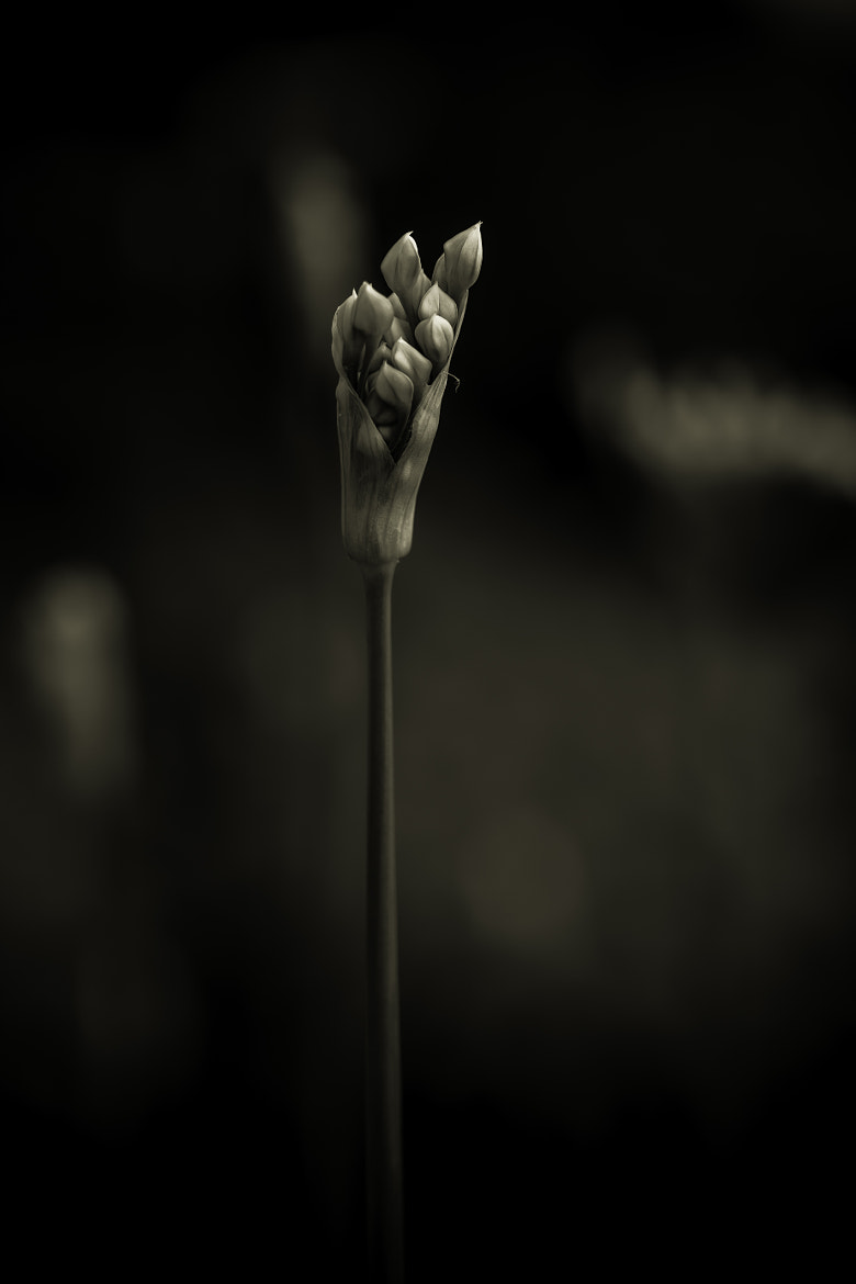 Photograph Chives in  monochrome by Alan Shapiro on 500px