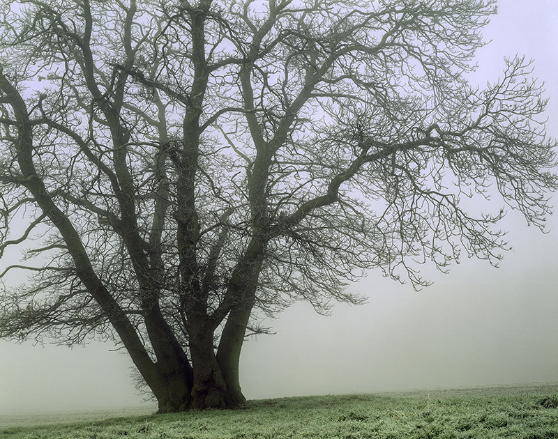 Photograph SWEET CHESTNUT TREE IN WINTER MIST by COLIN MOLYNEUX on 500px