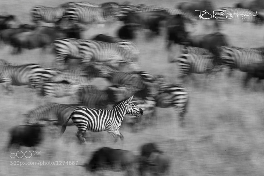 Photograph stalion Zebra  by Jo Knight on 500px
