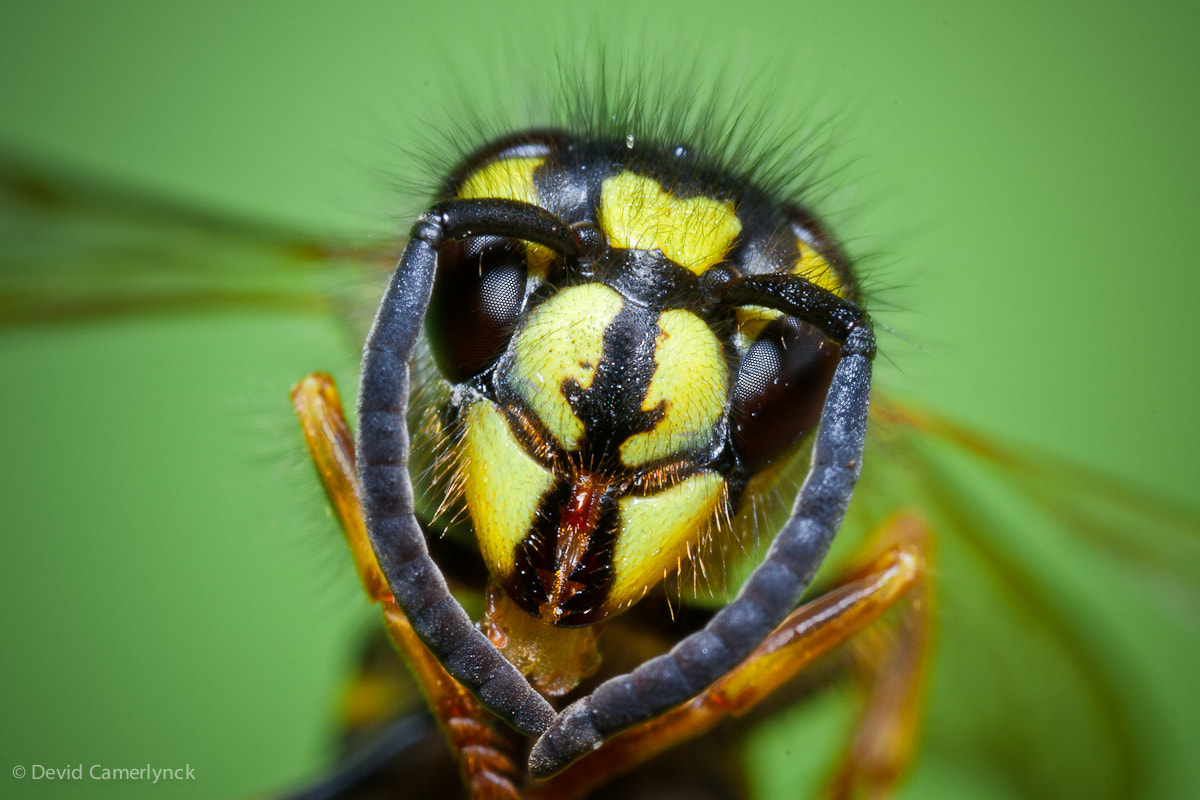 Photograph Wasp by Devid Camerlynck on 500px
