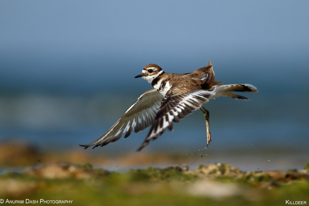 Photograph Killdeer!! by Anupam Dash on 500px