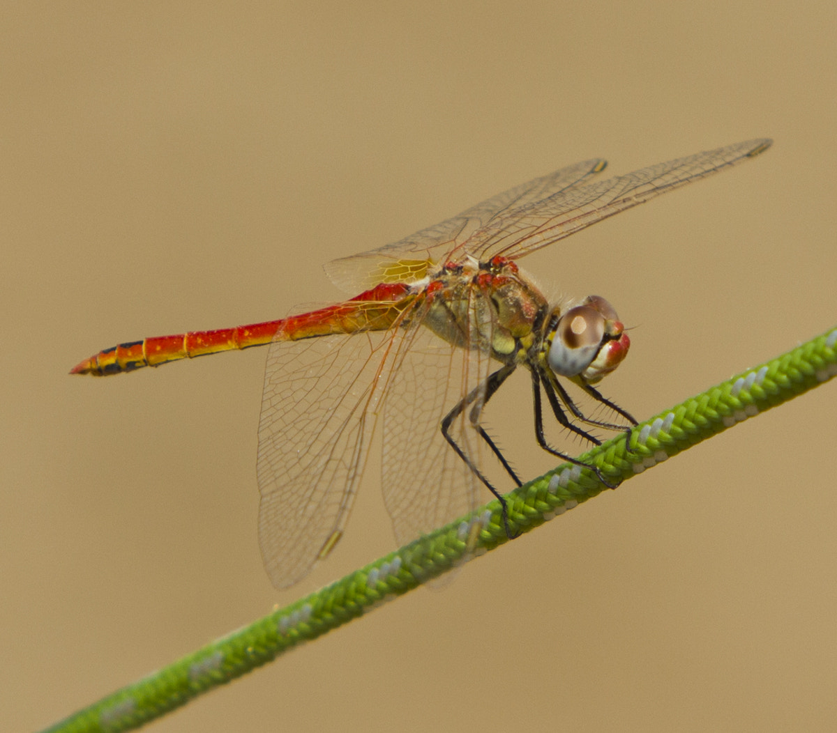 Photograph Dragonfly equilibrist by Oscar Ferreres on 500px