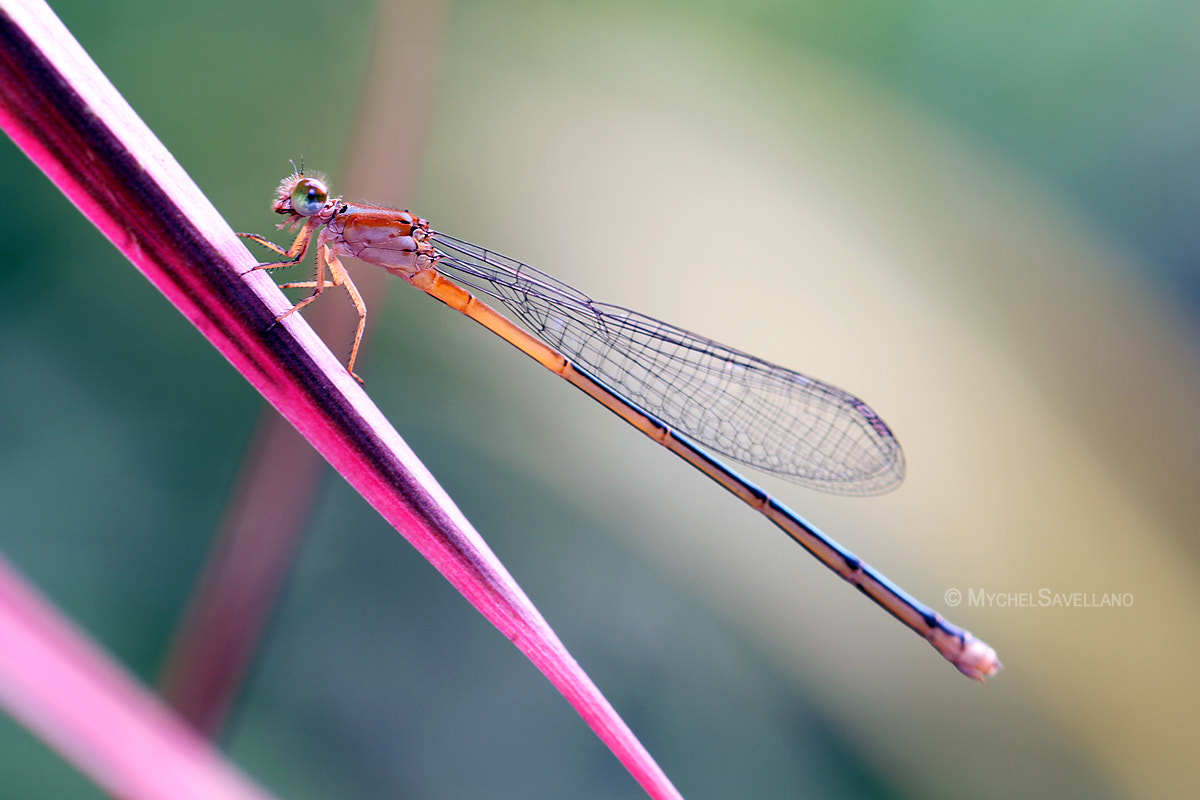 Photograph Dragonfly by Michael Savellano on 500px