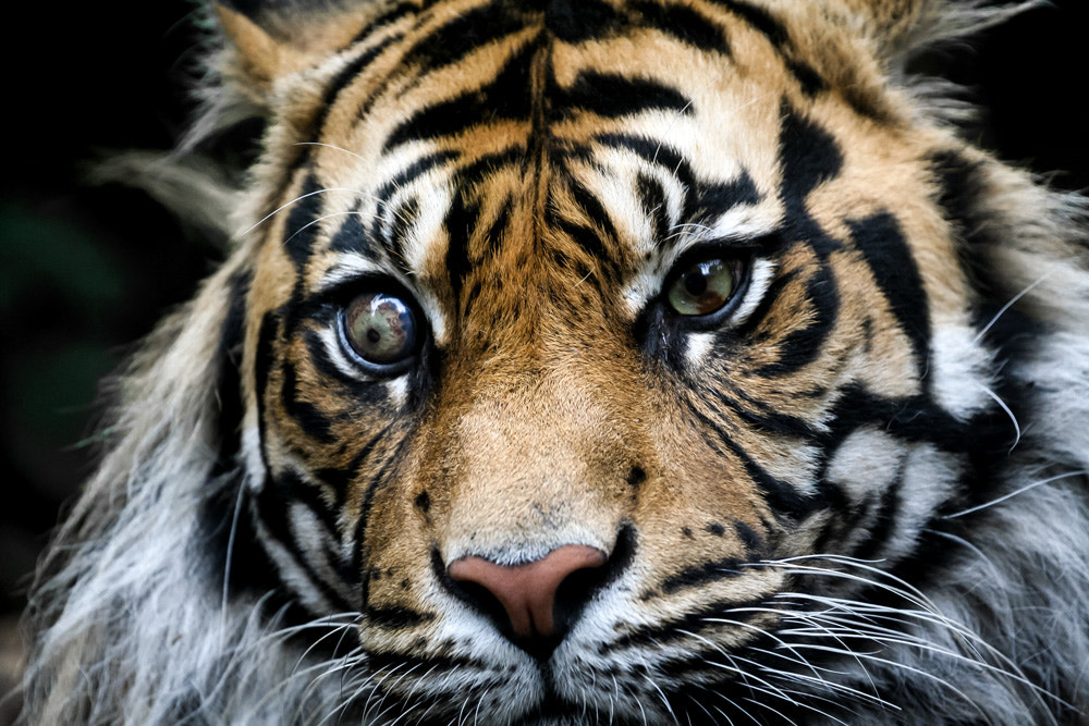 Photograph Eye of the Tiger by Ash Burrows on 500px