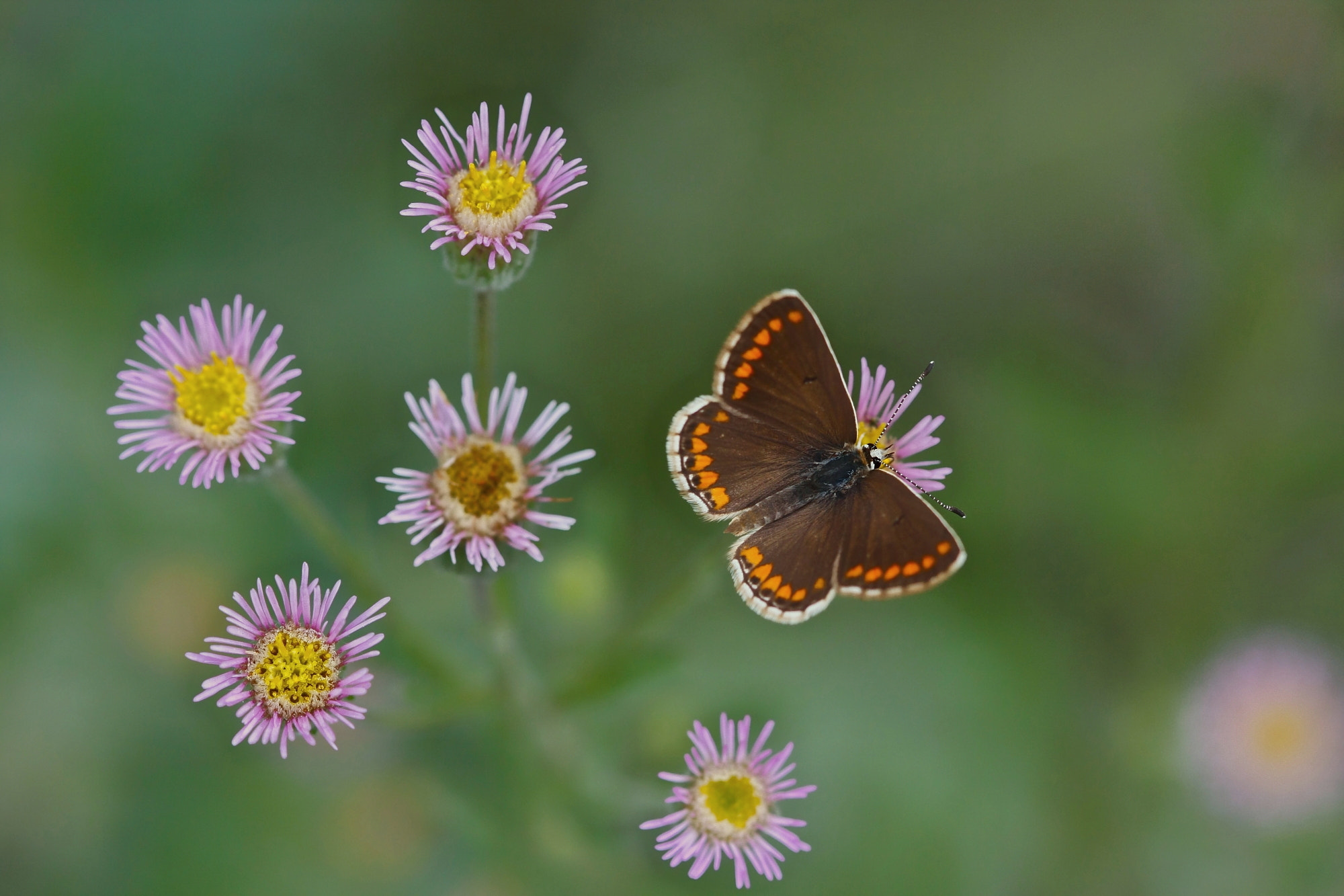 Photograph aricia agestis by Cafer Gezer on 500px