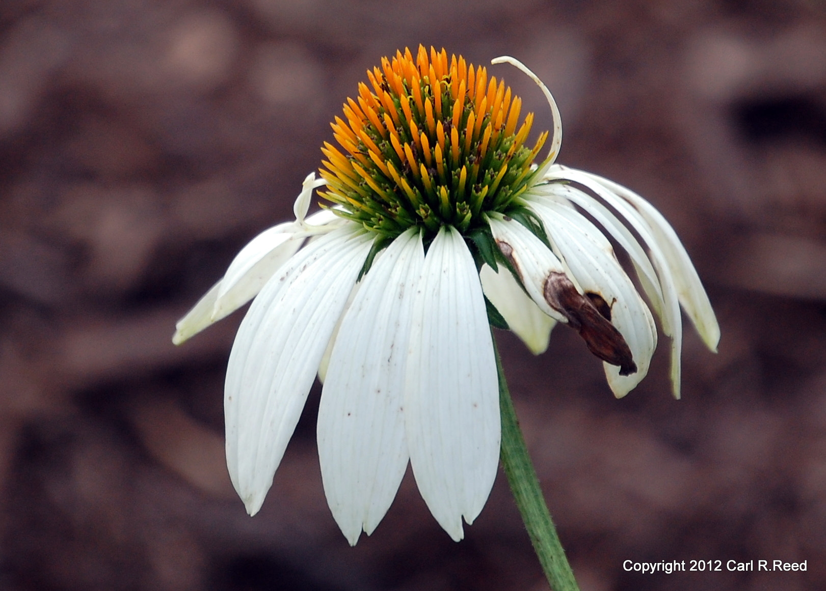 Photograph flower 1662 by Carl Reed on 500px