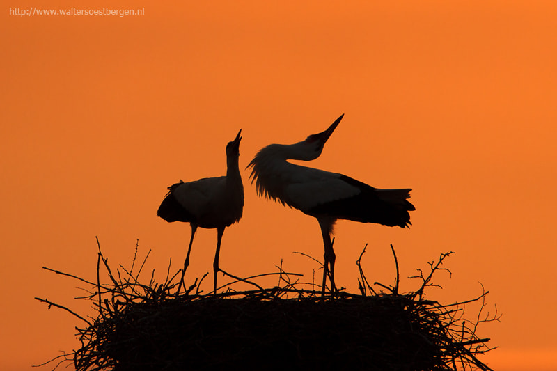 Photograph White stork by Walter Soestbergen on 500px