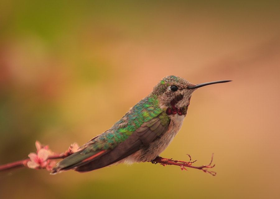 Photograph Hummer by Mark Hamilton on 500px