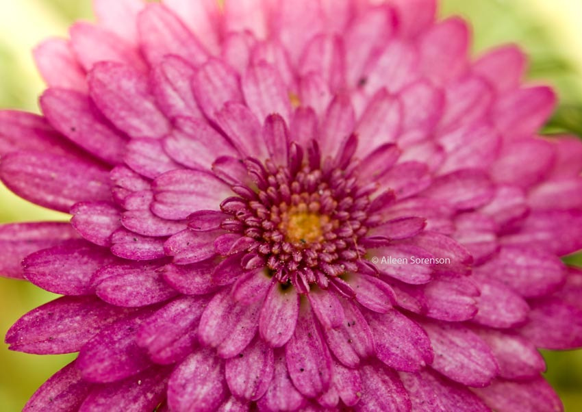 Photograph Pinkalicious by Aileen Sorenson on 500px
