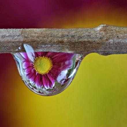 Crisantemo riflesso