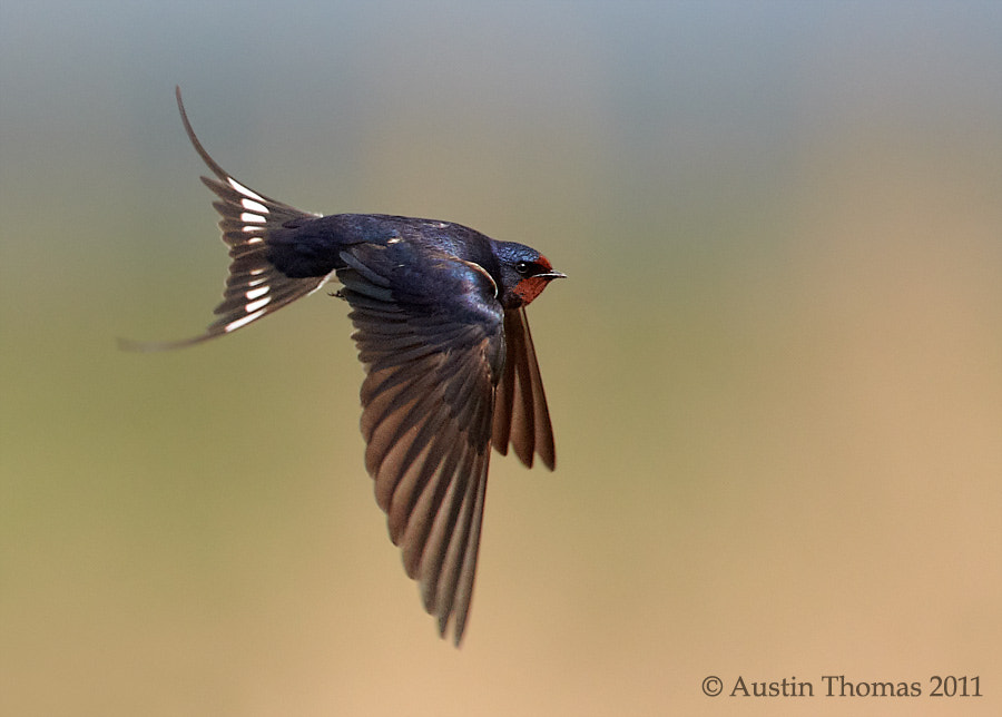 In flight Swallow