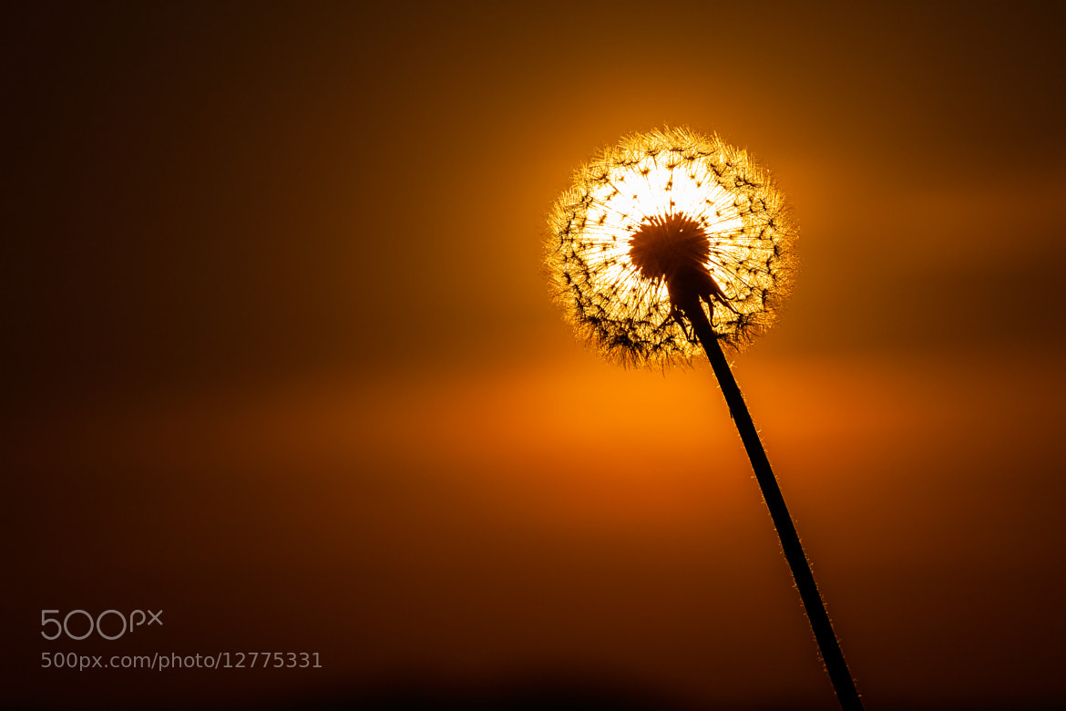 Photograph Dandelion sun by Vladimir Markovic on 500px