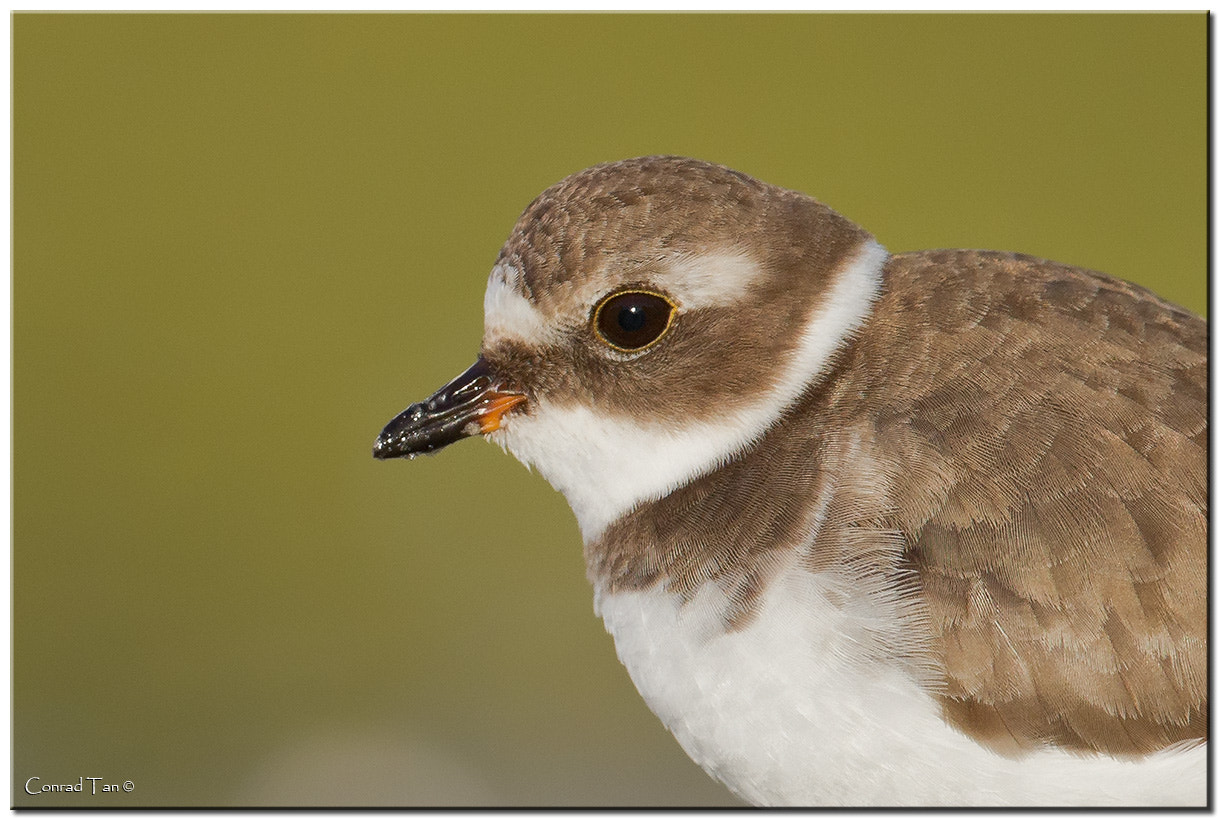 Photograph Semipalmated Plover by Conrad Tan on 500px
